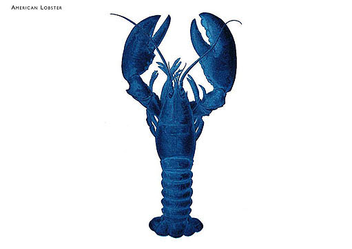 Blue American Lobster Postcard